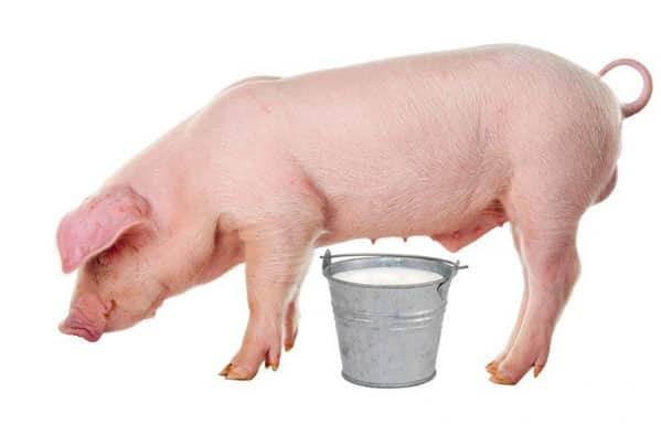 Свиное молоко от алкоголизма
